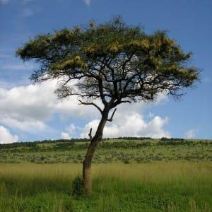 African Acacia Tree