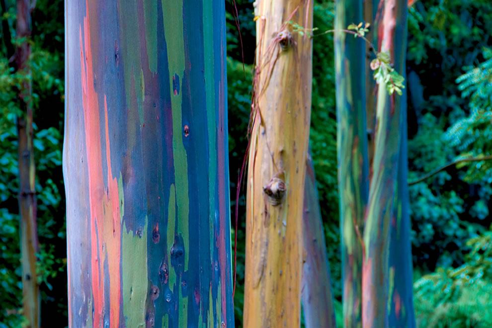Rainbow Eucalyptus Discount Flooring Depot Blog