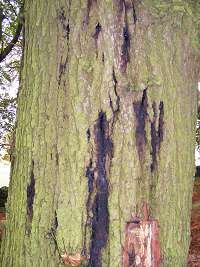 With Acute Oak Decline the tree appears to be 'bleeding to death'.