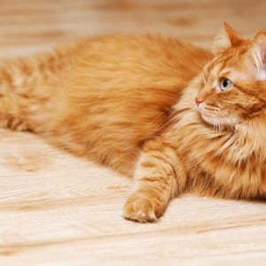 Ginger cat laying on laminate floor